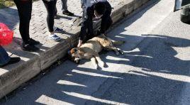 OTOMOBİLİN ÇARPTIĞI KÖPEK'E POLİSLER SAHİP ÇIKTI